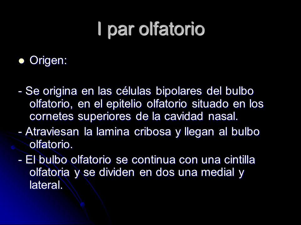 I par olfatorio Origen: Origen: - Se origina en las células bipolares del bulbo olfatorio, en el epitelio olfatorio situado en los cornetes superiores