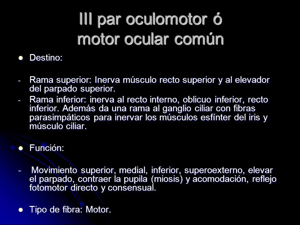 III par oculomotor ó motor ocular común Destino: Destino: - Rama superior: Inerva músculo recto superior y al elevador del parpado superior. - Rama in