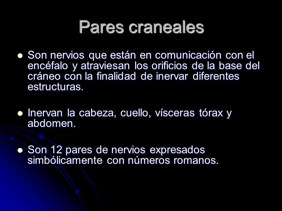 Pares craneales Son nervios que están en comunicación con el encéfalo y atraviesan los orificios de la base del cráneo con la finalidad de inervar dif