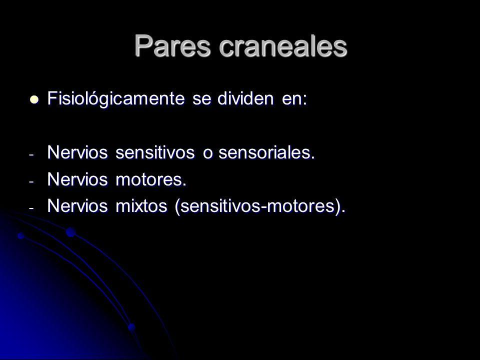 Pares craneales Fisiológicamente se dividen en: Fisiológicamente se dividen en: - Nervios sensitivos o sensoriales. - Nervios motores. - Nervios mixto