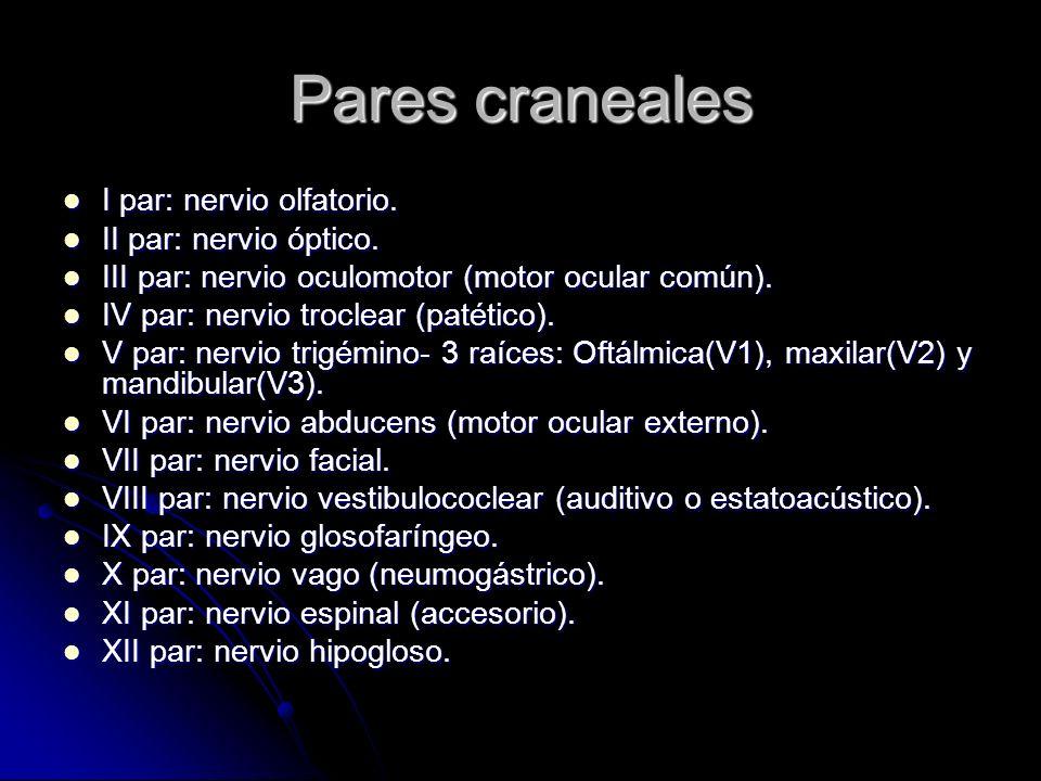 Pares craneales I par: nervio olfatorio. I par: nervio olfatorio. II par: nervio óptico. II par: nervio óptico. III par: nervio oculomotor (motor ocul