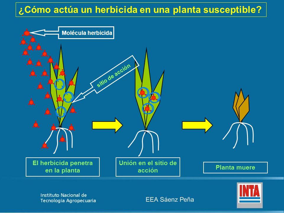 ¿Cómo actúa un herbicida en una planta susceptible? Unión en el sitio de acción Planta muere El herbicida penetra en la planta Molécula herbicida siti