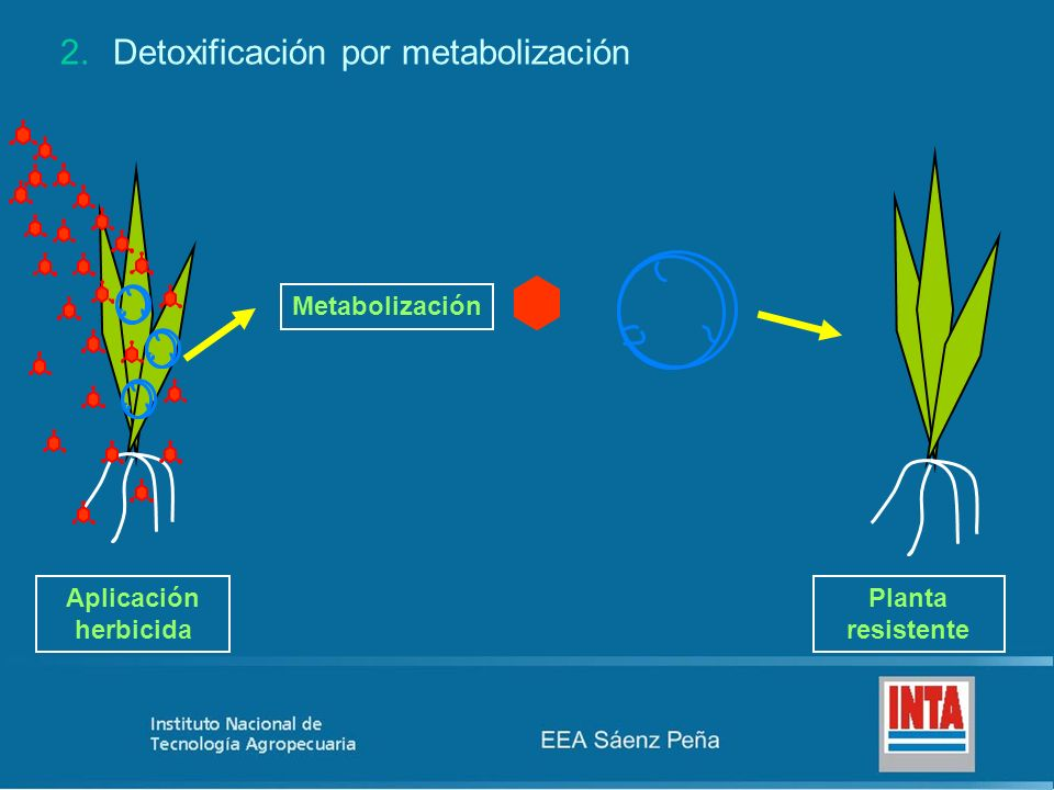 2.Detoxificación por metabolización Aplicación herbicida Planta resistente Metabolización