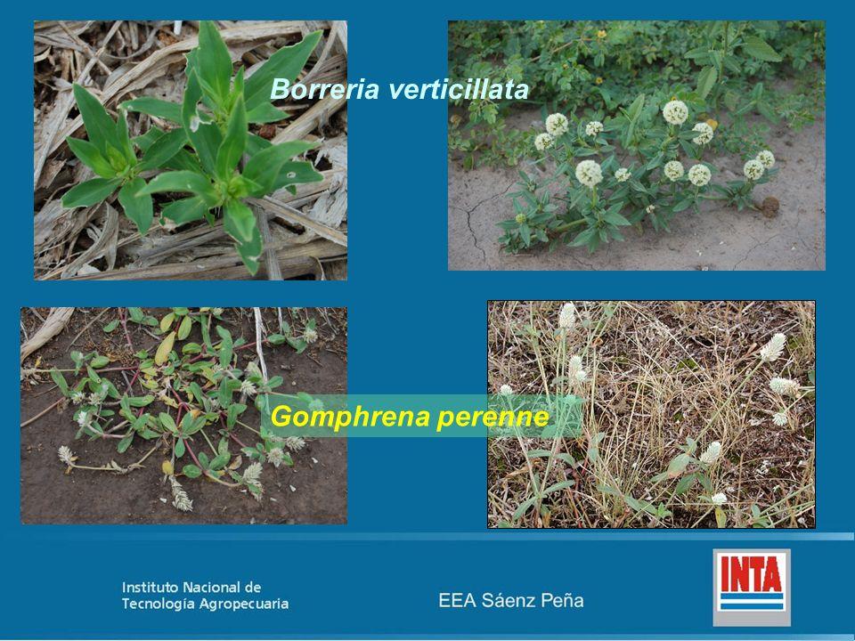 Borreria verticillata Gomphrena perenne