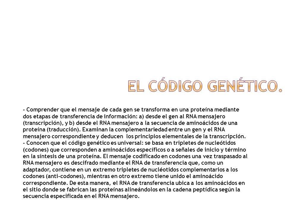- Comprender que el mensaje de cada gen se transforma en una proteína mediante dos etapas de transferencia de información: a) desde el gen al RNA mens