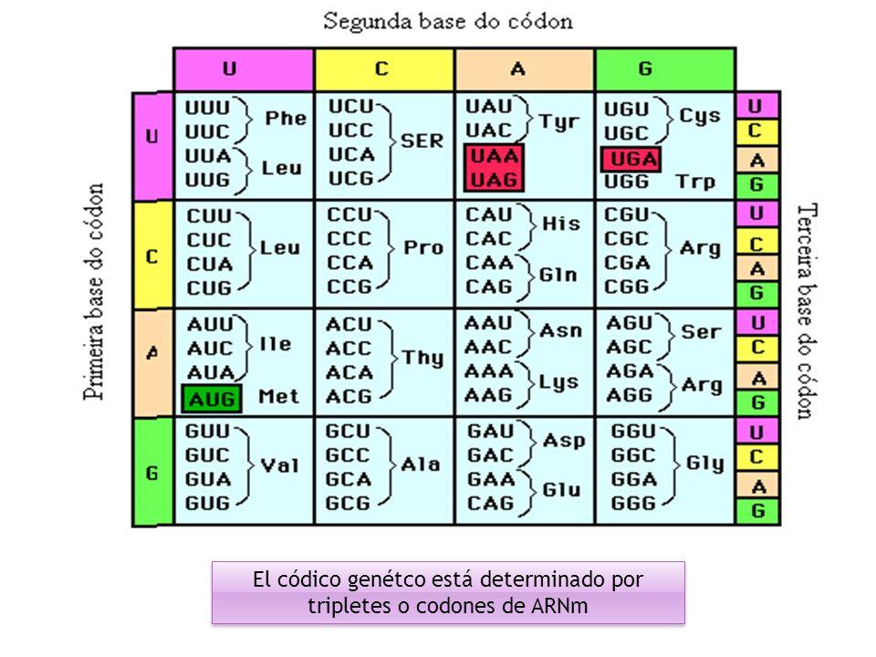 El códico genétco está determinado por tripletes o codones de ARNm