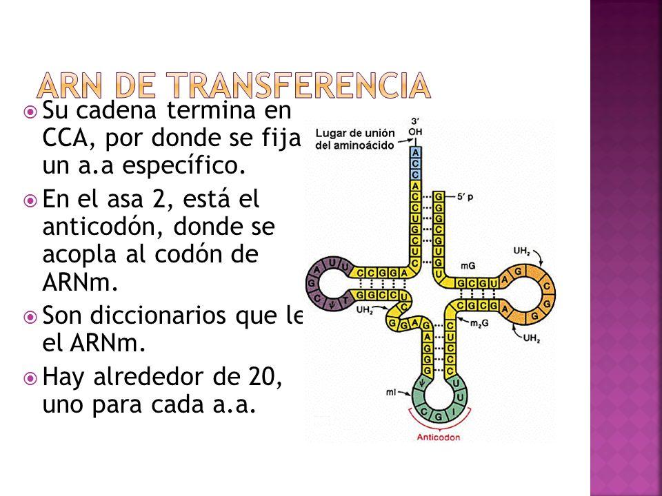 Su cadena termina en CCA, por donde se fija a un a.a específico. En el asa 2, está el anticodón, donde se acopla al codón de ARNm. Son diccionarios qu