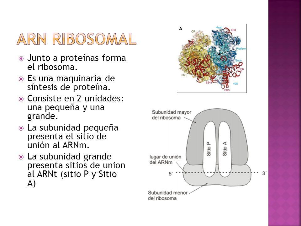 Junto a proteínas forma el ribosoma. Es una maquinaria de síntesis de proteína. Consiste en 2 unidades: una pequeña y una grande. La subunidad pequeña