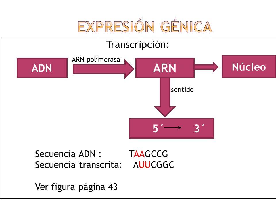 Transcripción: ADN ARN ARN polimerasa 5´ 3´ sentido Núcleo Secuencia ADN : TAAGCCG Secuencia transcrita: AUUCGGC Ver figura página 43
