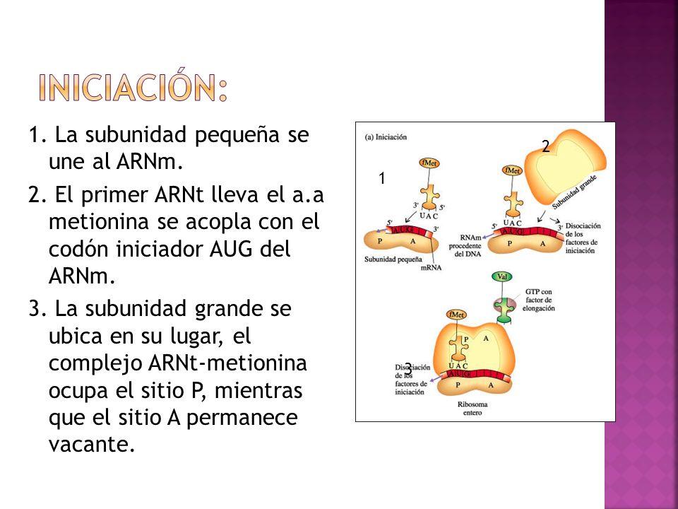 1. La subunidad pequeña se une al ARNm. 2. El primer ARNt lleva el a.a metionina se acopla con el codón iniciador AUG del ARNm. 3. La subunidad grande