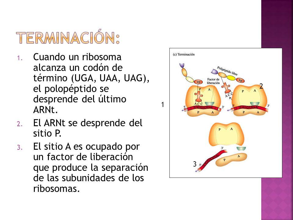 1. Cuando un ribosoma alcanza un codón de término (UGA, UAA, UAG), el polopéptido se desprende del último ARNt. 2. El ARNt se desprende del sitio P. 3