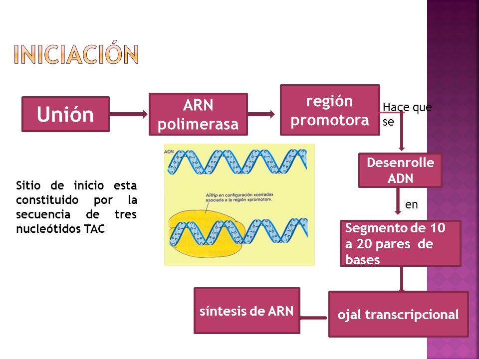 Unión ARN polimerasa región promotora Desenrolle ADN Hace que se en Segmento de 10 a 20 pares de bases ojal transcripcional síntesis de ARN Sitio de i