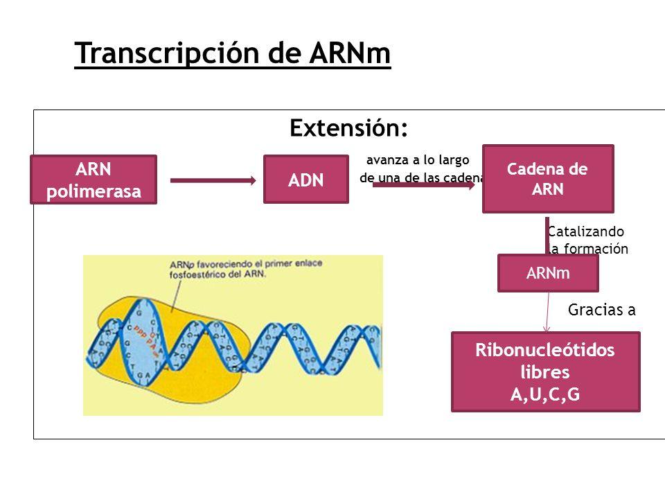 Extensión: avanza a lo largo de una de las cadenas ARN polimerasa ADN Cadena de ARN Catalizando la formación Ribonucleótidos libres A,U,C,G Transcripc