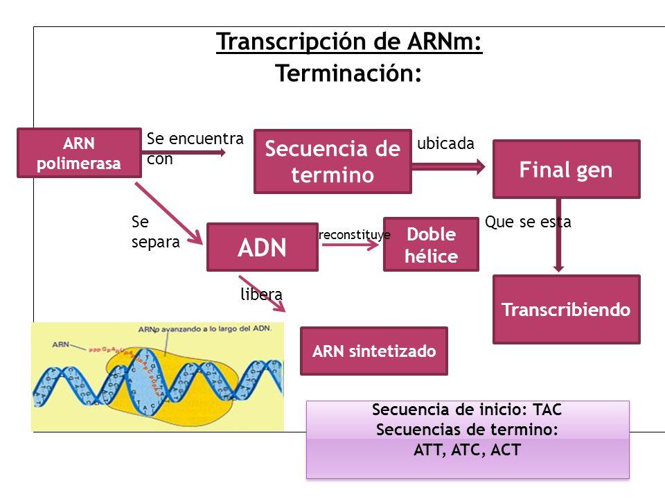 Transcripción de ARNm: Terminación: ARN polimerasa Se encuentra con Secuencia de termino ubicada Final gen Que se esta Transcribiendo ADN Se separa AR