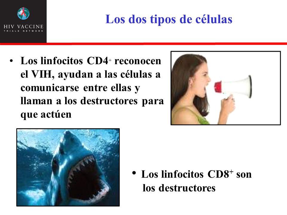 Los dos tipos de células Los linfocitos CD4 + reconocen el VIH, ayudan a las células a comunicarse entre ellas y llaman a los destructores para que ac