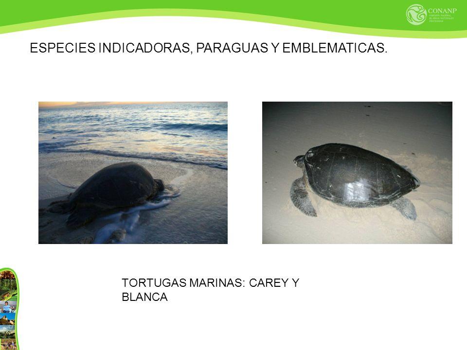 ESPECIES INDICADORAS, PARAGUAS Y EMBLEMATICAS. TORTUGAS MARINAS: CAREY Y BLANCA