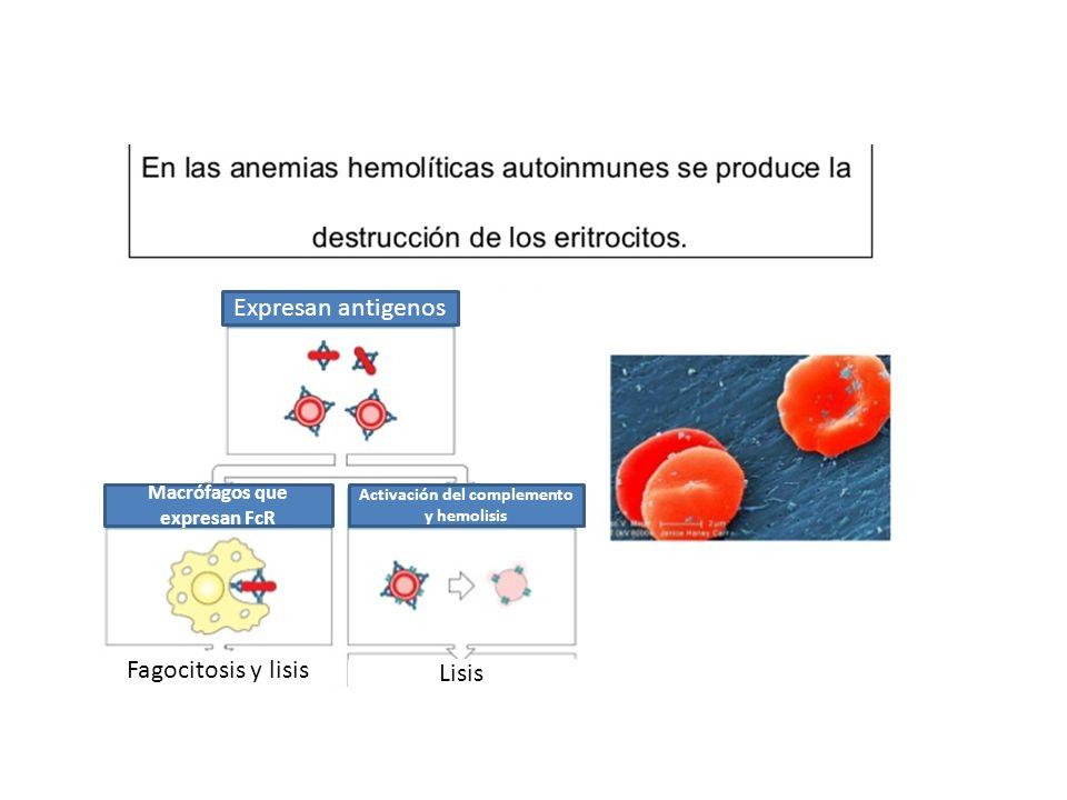 Expresan antigenos Macrófagos que expresan FcR Activación del complemento y hemolisis Fagocitosis y lisis Lisis