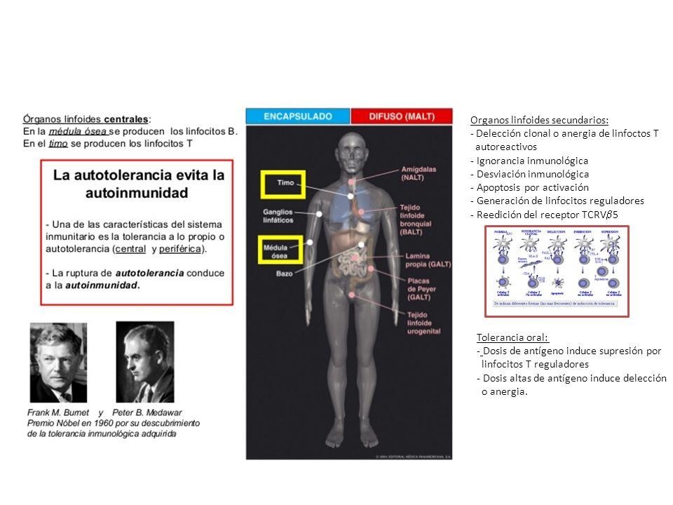 Organos linfoides secundarios: - Delección clonal o anergia de linfoctos T autoreactivos - Ignorancia inmunológica - Desviación inmunológica - Apoptos