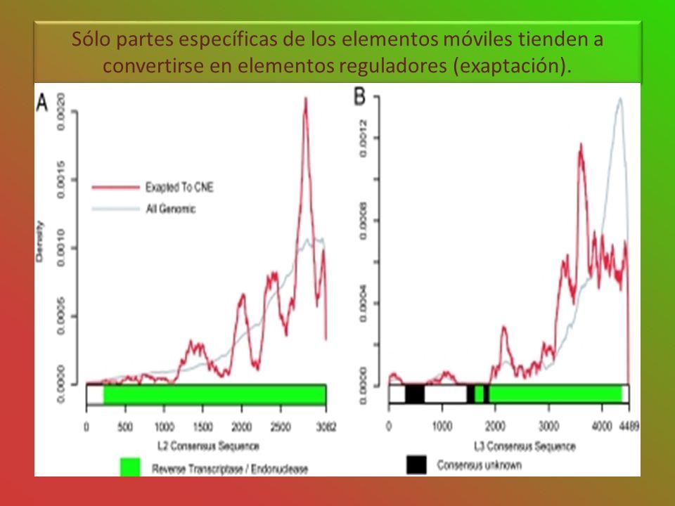Sólo partes específicas de los elementos móviles tienden a convertirse en elementos reguladores (exaptación).