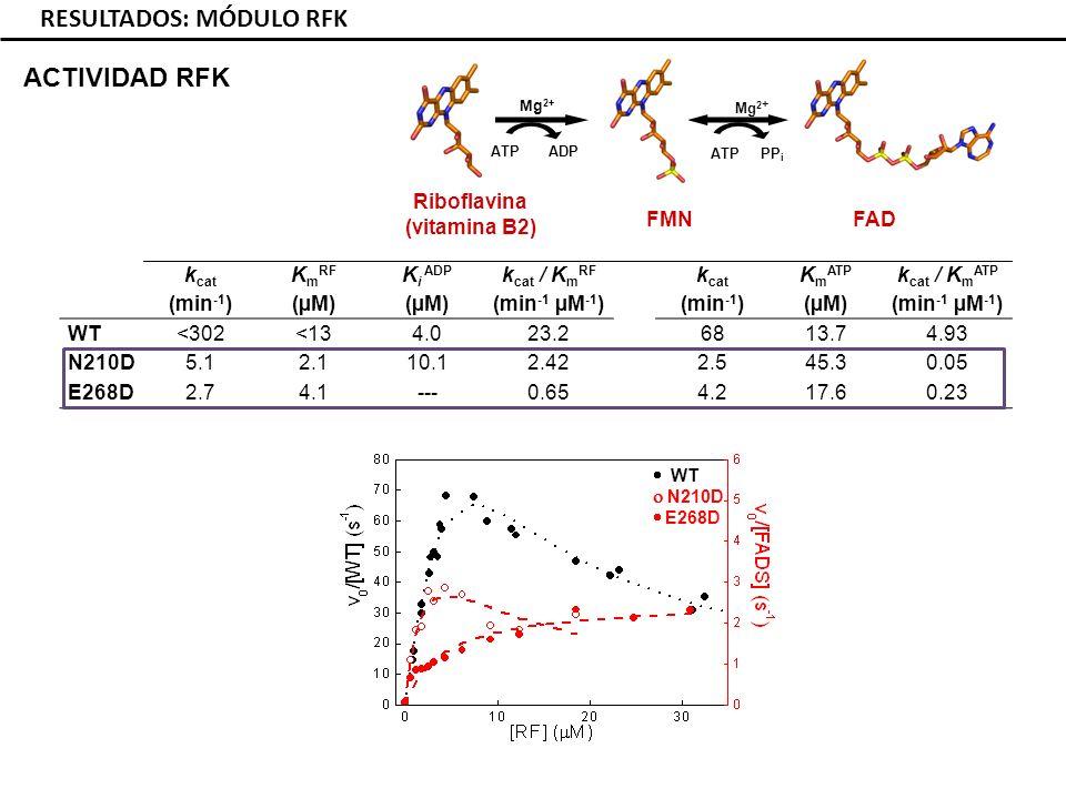ACTIVIDAD RFK RESULTADOS: MÓDULO RFK k cat (min -1 ) K m RF (µM) K i ADP (µM) k cat / K m RF (min -1 µM -1 ) k cat (min -1 ) K m ATP (µM) k cat / K m ATP (min -1 µM -1 ) WT<302<134.023.26813.74.93 N210D5.12.110.12.422.545.30.05 E268D2.74.1---0.654.217.60.23 Riboflavina (vitamina B2) FAD FMN ATP ADP ATP PP i Mg 2+ WT N210D E268D