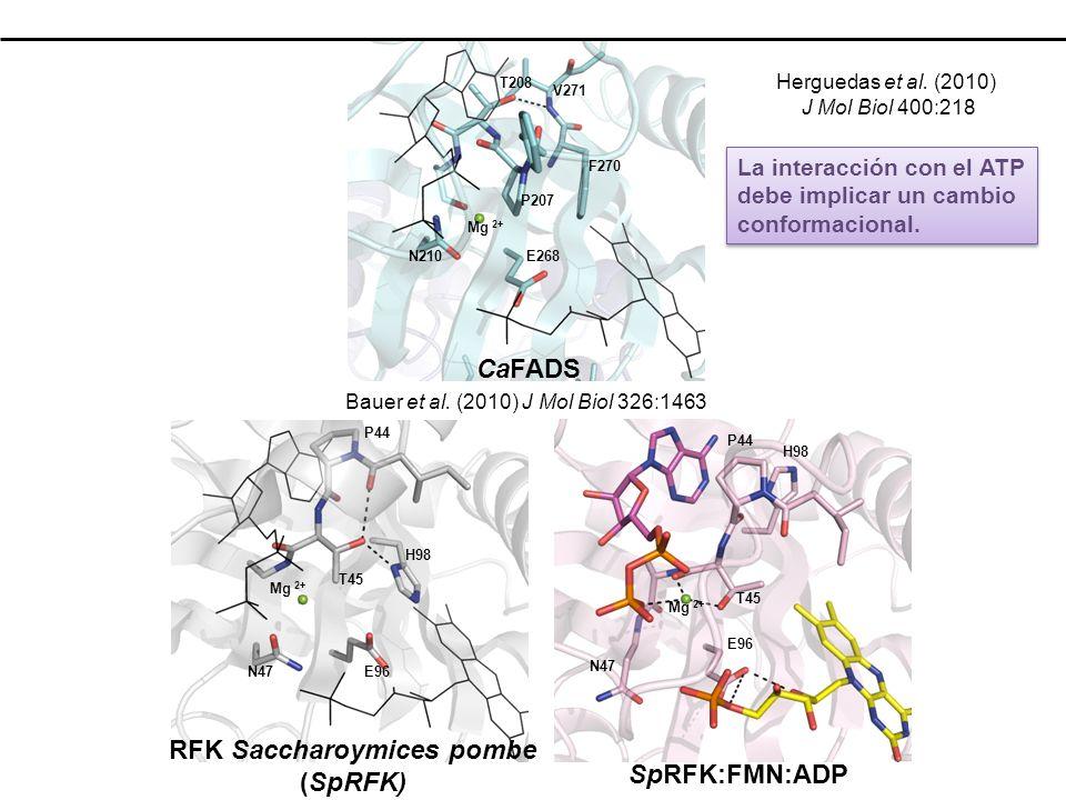 E268N210 P207 T208 Mg 2+ F270 V271 E96N47 P44 T45 Mg 2+ H98 E96 N47 P44 T45 Mg 2+ H98 RFK Saccharoymices pombe (SpRFK) SpRFK:FMN:ADP CaFADS La interacción con el ATP debe implicar un cambio conformacional.
