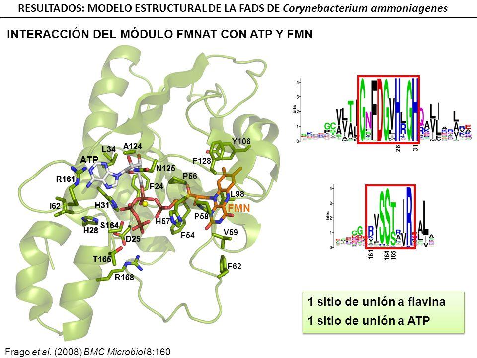 R161 I62 H28 R168 T165 S164 D25 F24 A124 N125 L34 H31 R161 I62 H28 R168 T165 S164 D25 F24 A124 N125 L34 H31 28 31 164 165 161 RESULTADOS: MODELO ESTRUCTURAL DE LA FADS DE Corynebacterium ammoniagenes ATP FMN Y106 H57 V59 L98 F128 P56 P58 F62 F54 1 sitio de unión a flavina 1 sitio de unión a ATP 1 sitio de unión a flavina 1 sitio de unión a ATP INTERACCIÓN DEL MÓDULO FMNAT CON ATP Y FMN R161 H28 T165 S164 H31 Frago et al.