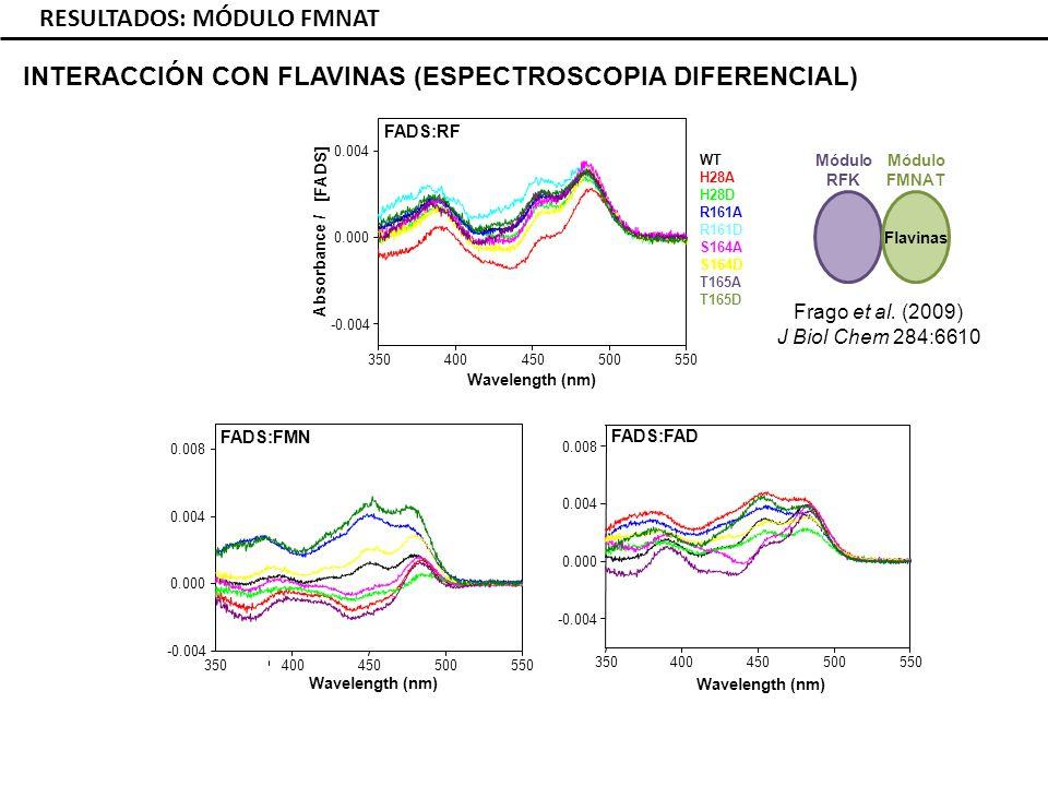RESULTADOS: MÓDULO FMNAT INTERACCIÓN CON FLAVINAS (ESPECTROSCOPIA DIFERENCIAL) FADS:RF FADS:FMN FADS:FAD 350400450500550 -0.004 0.000 0.004 Wavelength (nm) Absorbance / [FADS] 350400450500550 -0.004 0.000 0.004 0.008 Wavelength (nm) 350400450500550 -0.004 0.000 0.004 0.008 Wavelength (nm) WT H28A H28D R161A R161D S164A S164D T165A T165D Módulo FMNAT Módulo RFK Flavinas Frago et al.
