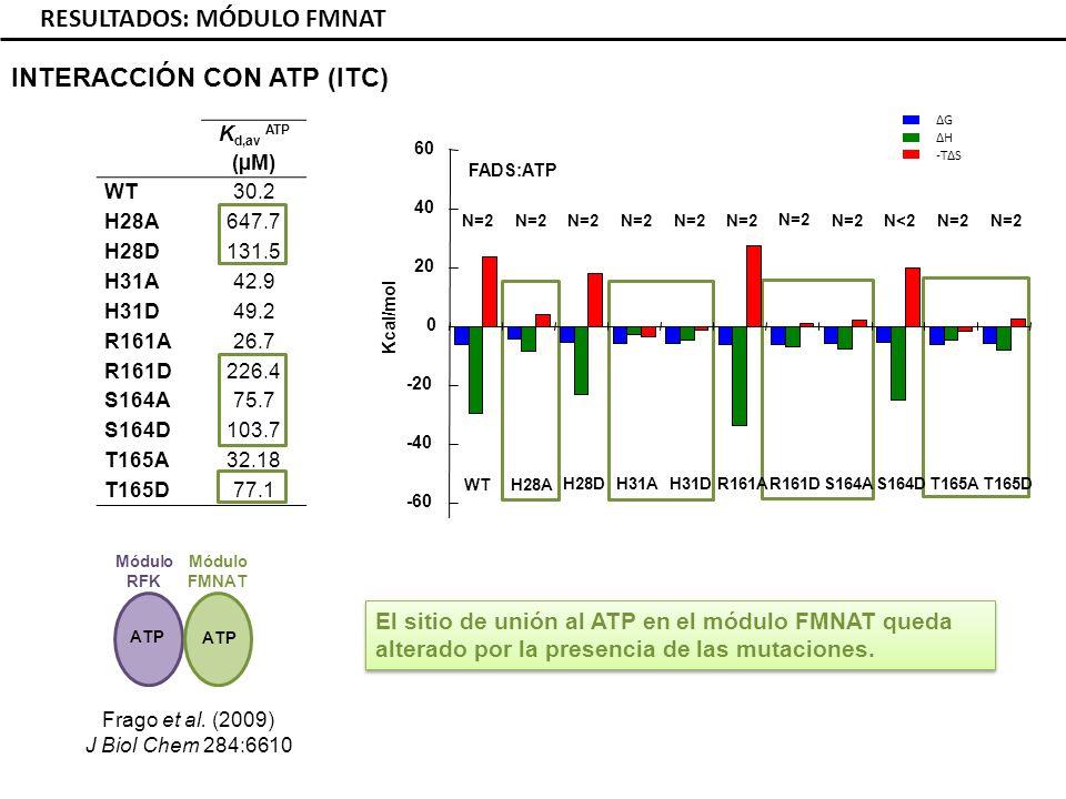 K d,av ATP (µM) WT30.2 H28A647.7 H28D131.5 H31A42.9 H31D49.2 R161A26.7 R161D226.4 S164A75.7 S164D103.7 T165A32.18 T165D77.1 RESULTADOS: MÓDULO FMNAT INTERACCIÓN CON ATP (ITC) ΔG ΔH -TΔS -60 -40 -20 0 20 40 60 Kcal/mol WT S164D R161A H28DT165DT165A S164A N=2 N<2 N=2 R161D N=2 H31D N=2 H31A H28A N=2 El sitio de unión al ATP en el módulo FMNAT queda alterado por la presencia de las mutaciones.