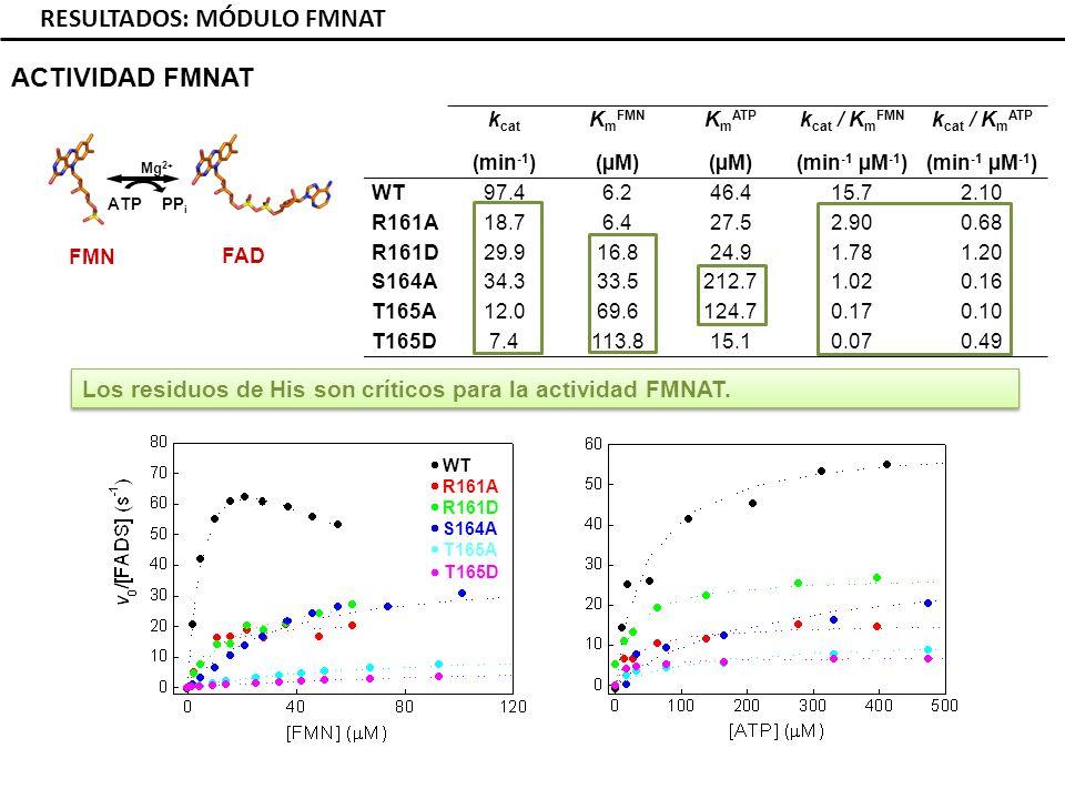 RESULTADOS: MÓDULO FMNAT k cat (min -1 ) K m FMN (µM) K m ATP (µM) k cat / K m FMN (min -1 µM -1 ) k cat / K m ATP (min -1 µM -1 ) WT97.46.246.415.72.10 R161A18.76.427.52.900.68 R161D29.916.824.91.781.20 S164A34.333.5212.71.020.16 T165A12.069.6124.70.170.10 T165D7.4113.815.10.070.49 ACTIVIDAD FMNAT FAD FMN ATP PP i Mg 2 + WT R161A R161D S164A T165A T165D Los residuos de His son críticos para la actividad FMNAT.