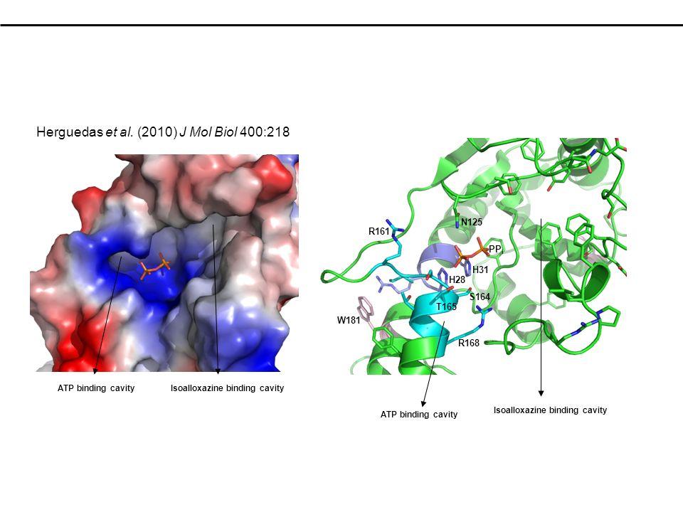 PP i N125 H31 R161 R168 H28 S164 T165 ATP binding cavityIsoalloxazine binding cavity W181 ATP binding cavity Isoalloxazine binding cavity Herguedas et al.