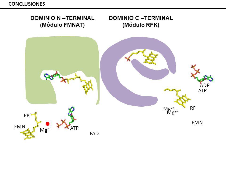 CONCLUSIONES RF ATP T208 N210 T208 E268 N210 E268 T208 N210 Mg 2+ ADP FMN Mg 2+ ATP Mg 2+ FMN H28 H31 PPi FAD DOMINIO N –TERMINAL (Módulo FMNAT) DOMINIO C –TERMINAL (Módulo RFK)