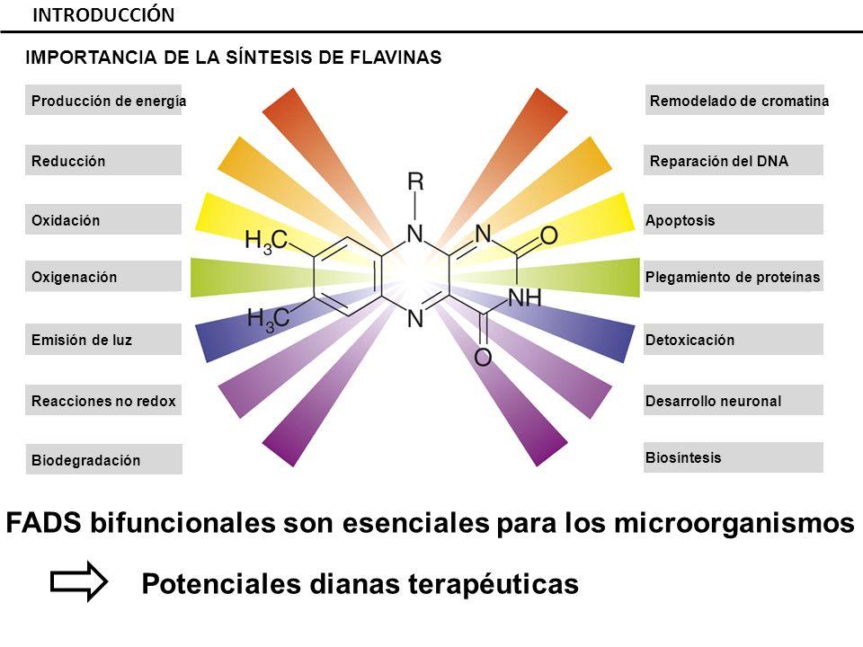 INTRODUCCIÓN Reducción Biodegradación Reacciones no redox Emisión de luz Oxigenación Oxidación Producción de energía Reparación del DNA Desarrollo neuronal Detoxicación Plegamiento de proteínas Apoptosis Remodelado de cromatina Biosíntesis FADS bifuncionales son esenciales para los microorganismos IMPORTANCIA DE LA SÍNTESIS DE FLAVINAS Potenciales dianas terapéuticas