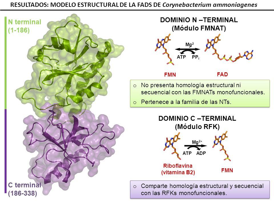 T208 N210 RESULTADOS: MODELO ESTRUCTURAL DE LA FADS DE Corynebacterium ammoniagenes E268 INTERACCIÓN DEL MÓDULO RFK CON RF Y ADP E295 K296 R292 D310 E268 F297 F270 T208 N210 V193 Y279 K202 D277 RF ADP 1 sitio de unión a flavina 1 sitio de unión a ATP 1 sitio de unión a flavina 1 sitio de unión a ATP E268 T208 N210 Frago et al.