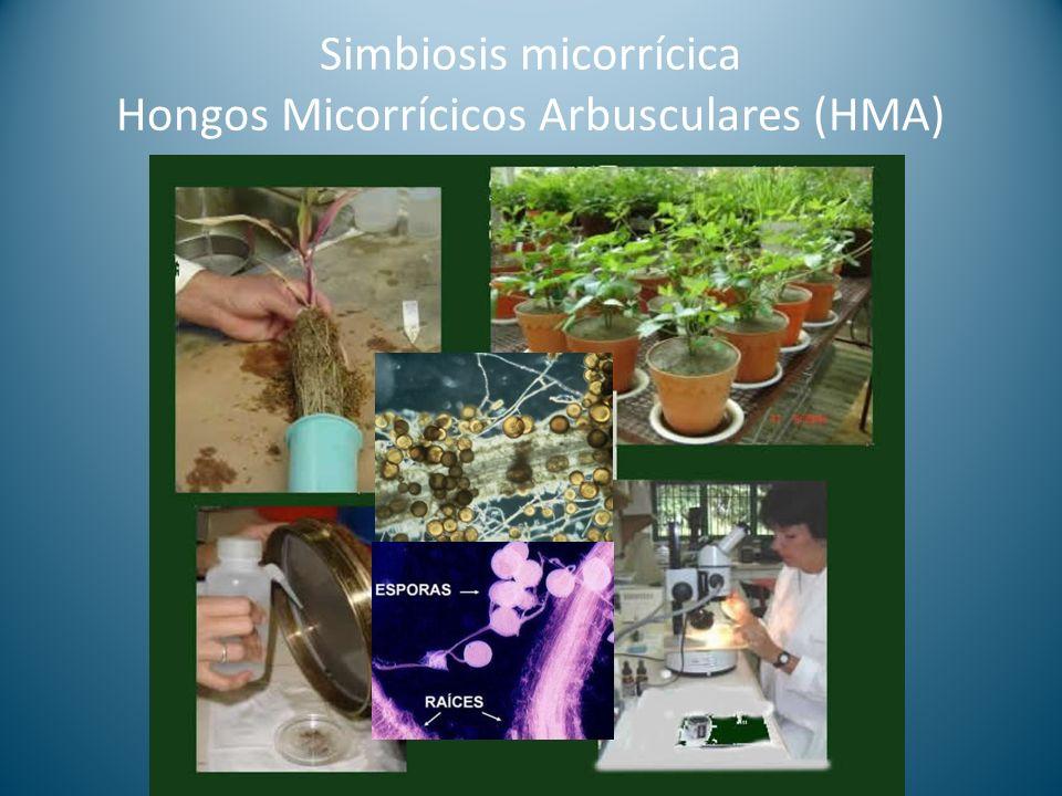 Simbiosis micorrícica Hongos Micorrícicos Arbusculares (HMA)