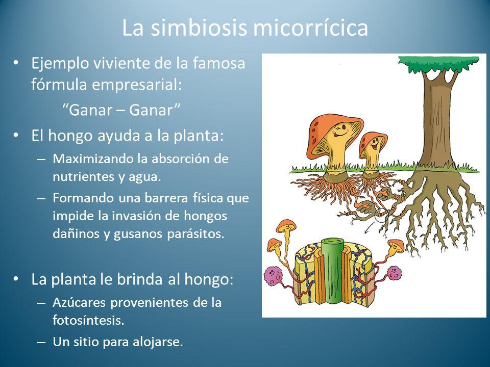 La simbiosis micorrícica Ejemplo viviente de la famosa fórmula empresarial: Ganar – Ganar El hongo ayuda a la planta: – Maximizando la absorción de nutrientes y agua.