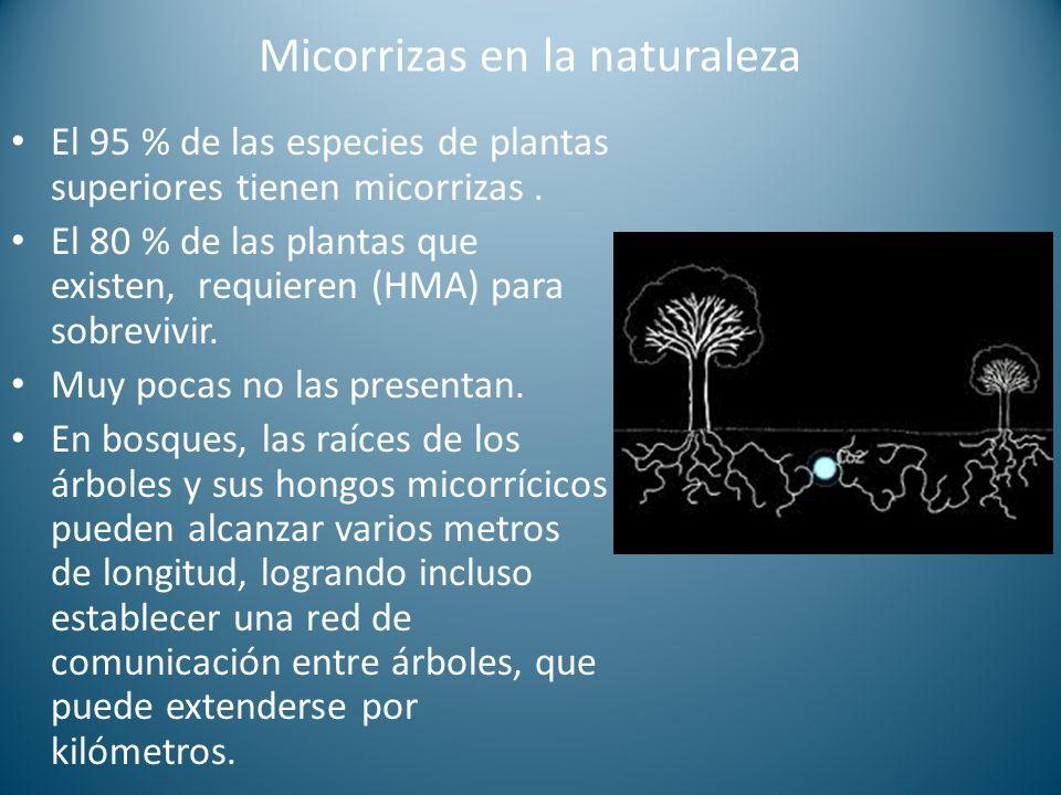 Micorrizas en la naturaleza El 95 % de las especies de plantas superiores tienen micorrizas. El 80 % de las plantas que existen, requieren (HMA) para