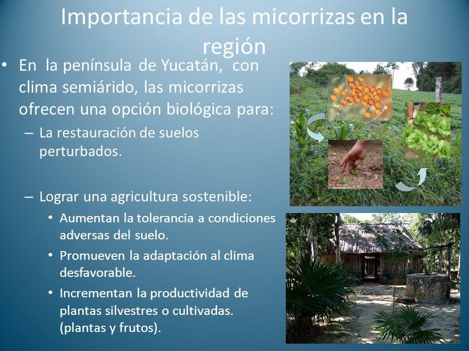 Importancia de las micorrizas en la región En la península de Yucatán, con clima semiárido, las micorrizas ofrecen una opción biológica para: – La restauración de suelos perturbados.