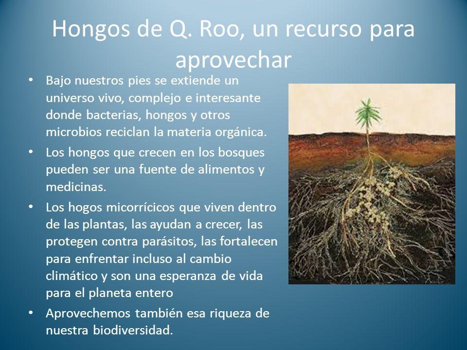 Hongos de Q. Roo, un recurso para aprovechar Bajo nuestros pies se extiende un universo vivo, complejo e interesante donde bacterias, hongos y otros m