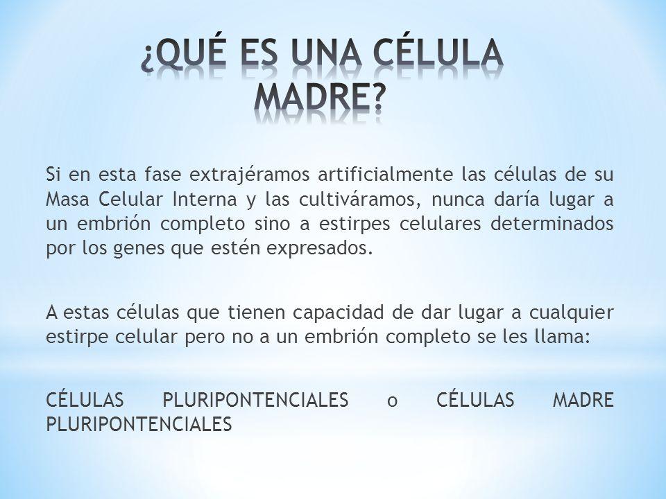 Si en esta fase extrajéramos artificialmente las células de su Masa Celular Interna y las cultiváramos, nunca daría lugar a un embrión completo sino a