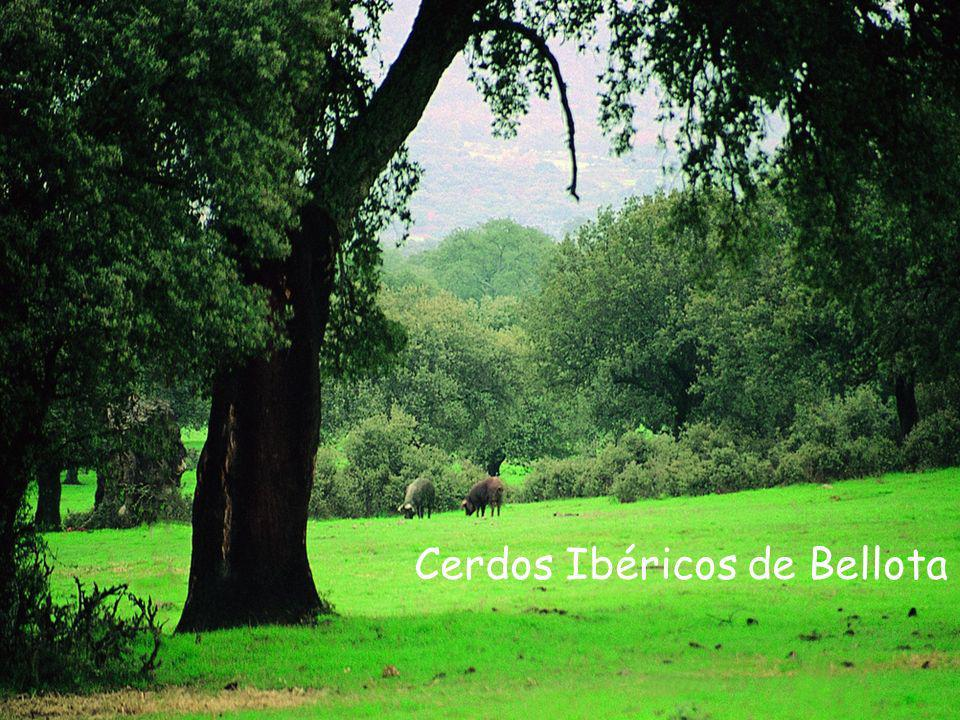 Valle del Ambroz (Cáceres) Cerdos Ibéricos de Bellota