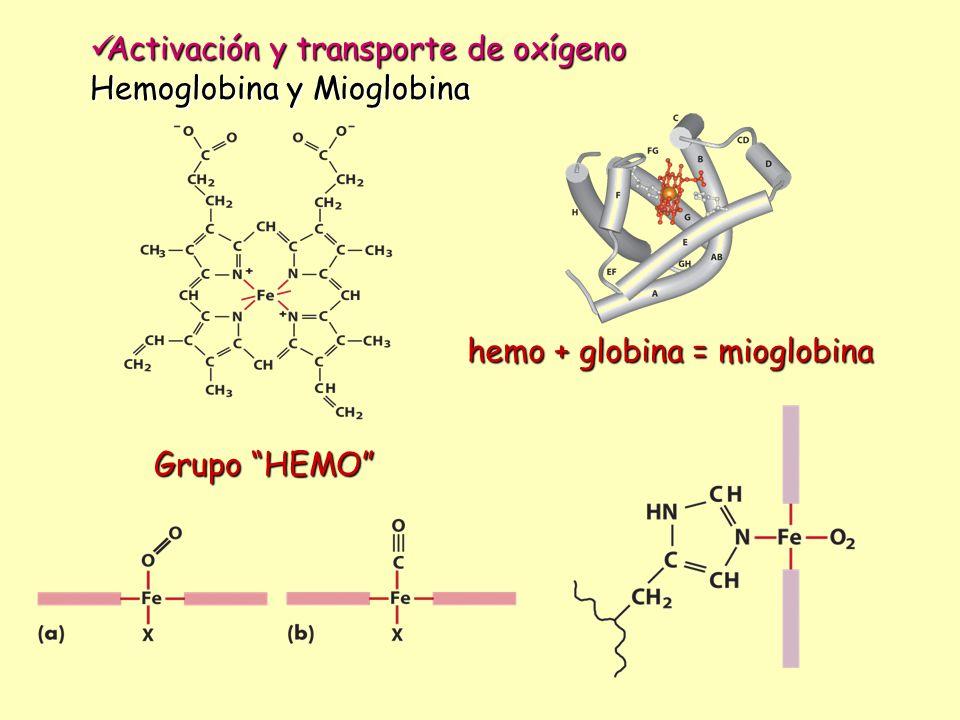 Transporte de electrones Transporte de electrones Metales que pueden presentar distintos estados de oxidación Fe (II)/ Fe(III) – Cu(I)/ CU(II) – Mo(V)/Mo(VI) Ferredoxina 4:4 cede e - Prot-Fe(II) Prot-Fe(III) Prot-Fe(II) Prot-Fe(III) toma e - Detoxificación Detoxificación Metalotioneínas: proteínas con alto contenido se cisteína R-SH + M(II) R-SM M= Hg, Cd