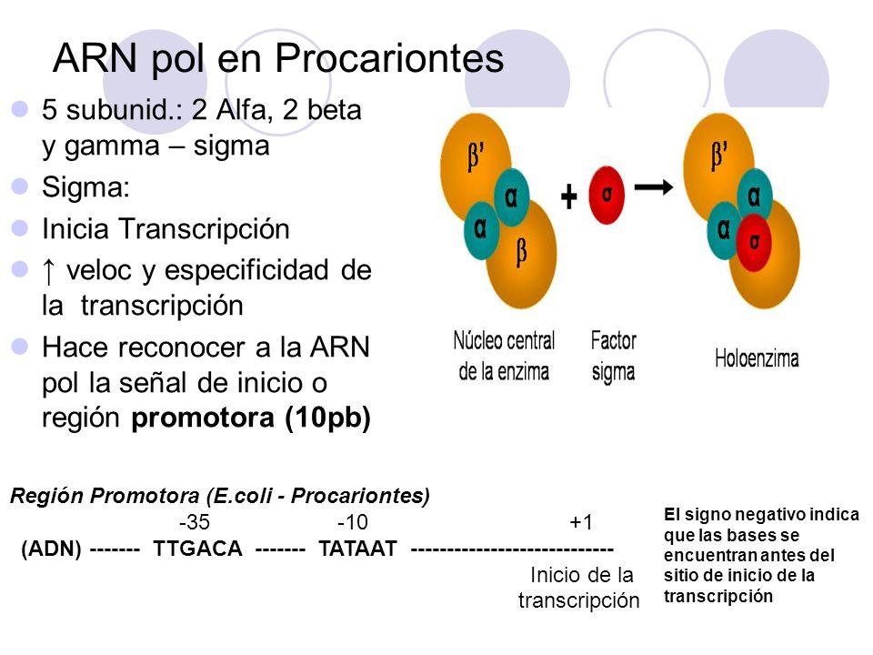 ARN pol en Procariontes 5 subunid.: 2 Alfa, 2 beta y gamma – sigma Sigma: Inicia Transcripción veloc y especificidad de la transcripción Hace reconoce