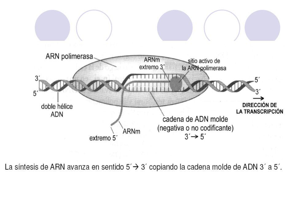 ARN polimerasa -35 -10 3 5 ADN 5 3 Enzima núcleo Subunidad Sigma + 1 punto de inicio