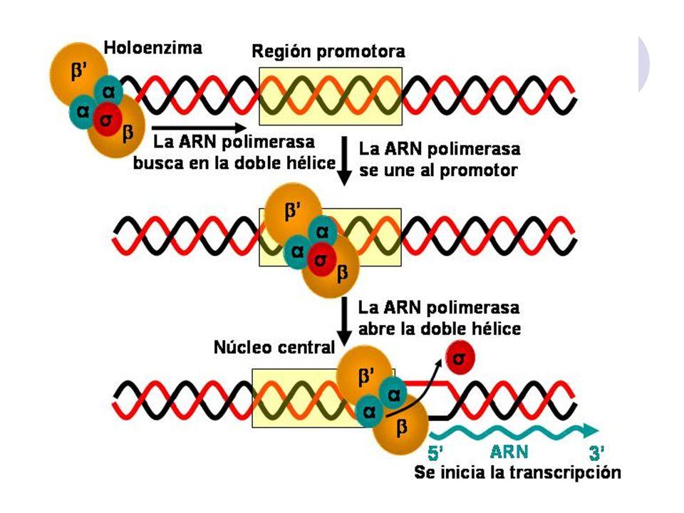 -35 +1 punto de inicio -10 ppp 5 3 5 p ppp NTP -35 -10 ARN en crecimiento Subunidad sigma disociada B) C)