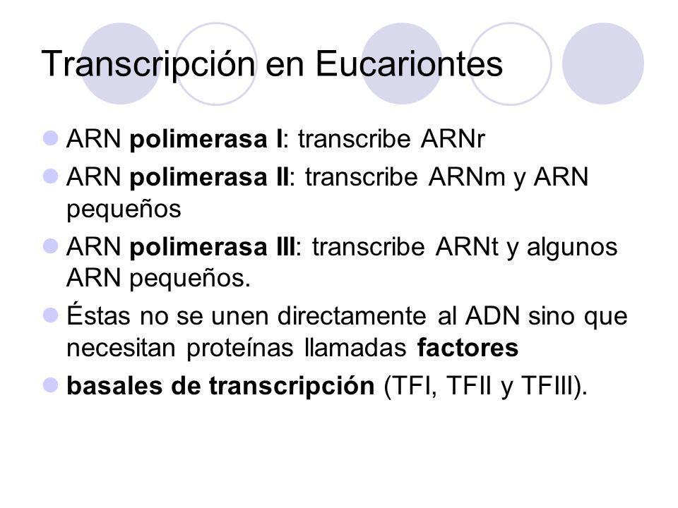 Los genes transcritos por la polimarasa II producen los ARN mensajeros.