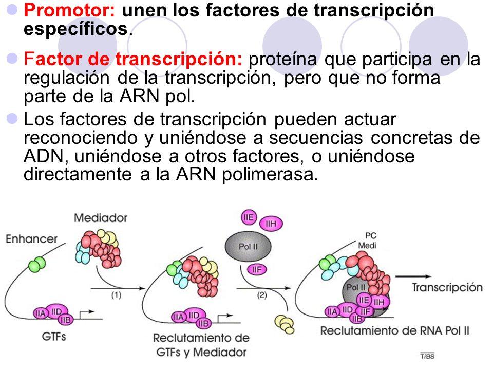 -8,000 +1 Enhancer Promotor Sitio de inicio estimular la transcripción ENHANCER: S ecuencias del ADN molde que no son promotoras por si mismas, pero pueden estimular la transcripción y actuar a considerables distancias del sitio de inicio de la transcripción.