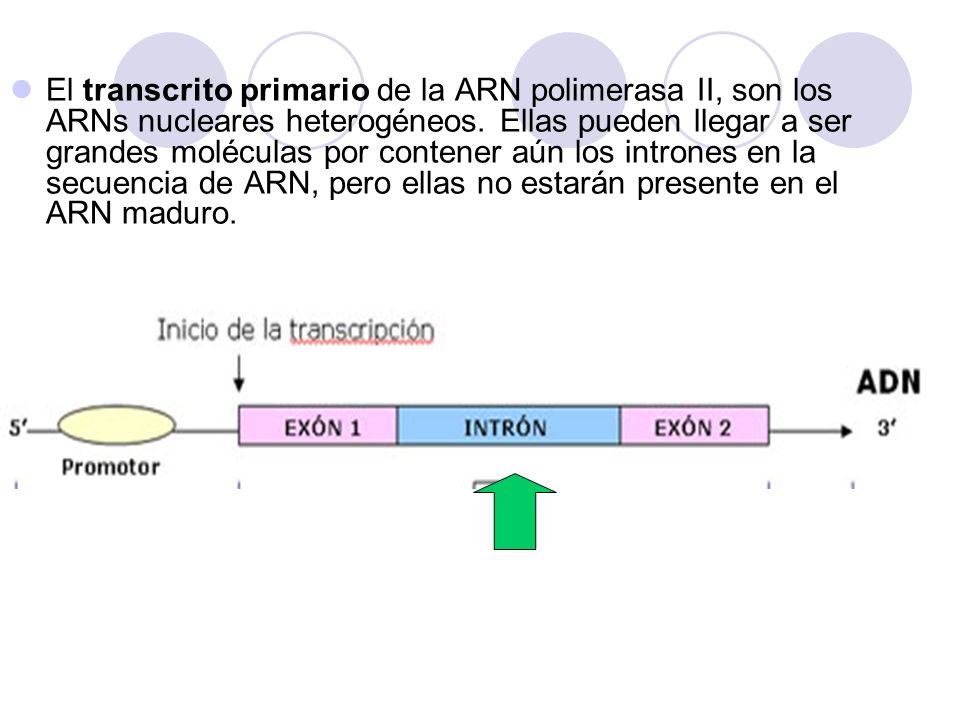 TATA ARN Polimerasa II ADN TATA G -P-P-P +CH 3 (2) Transcripto primario E nzima (1) (2) Cuando el transcrito (ó ARN) ha alcanzado 30 nucleótidos de largo, en su extremo 5 es colocado una guanosina unido a un grupo trifosfato que además es metilado.