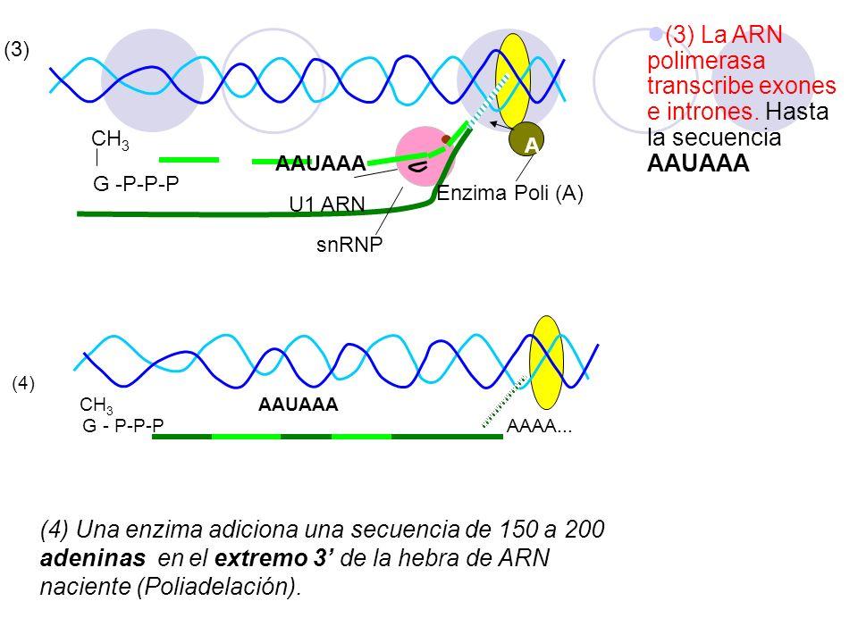 AAUAAA A G -P-P-P CH 3 snRNP U1 ARN Enzima Poli (A) (3) (4) CH 3 AAUAAA G - P-P-P AAAA... (3) La ARN polimerasa transcribe exones e intrones. Hasta la