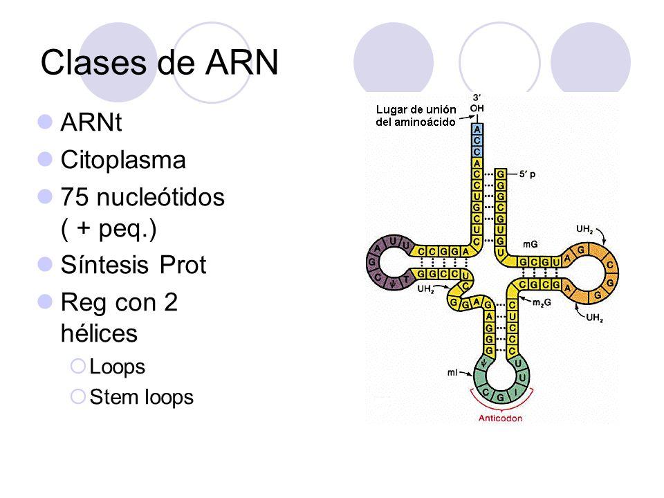 ARN r Ribosomas ( sínt de prot) Más abundante en cél. No más largo! Segmentos de 2 hélices