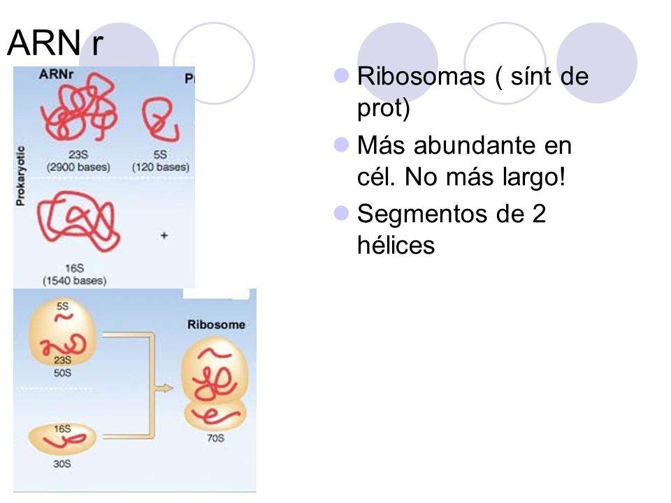 ARN m Monocatenario Transporta la información genética presente en los genes hasta los ribosomas.
